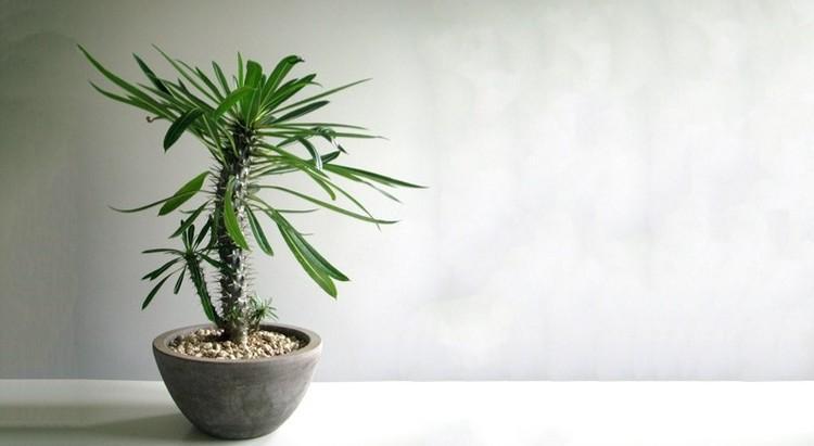 نکاتی برای پرورش و نگهداری از گیاه نخل ماداگاسکار